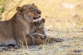 L�win mit Jungtier im Hwange Nationalpark, Simbabwe