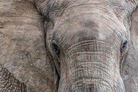 Afrikanischer Elefantenbulle (Loxodonta africana) im Addo Elephant Nationalpark bei Port Elizabeth, Südafrika