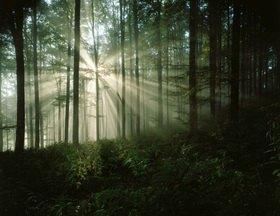 Buchenwald am Morgen