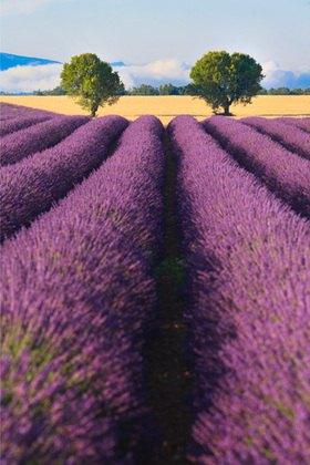 Lavendelfeld auf dem Plateau von Valensole, Provence Alpes Cote d'Azur, Frankreich