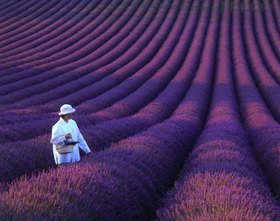 Valensole, girl in lavender field, Provence, Provence-Alpes-Cote-d'Azur, Frankreich