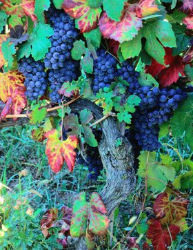 Vine of Dolcetto with wine-grapes, Provinz Cuneo, Piemont, Italien