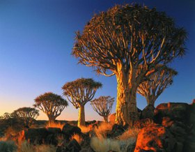 Keetmanshoop, Quiver Tree Forest, aloe dichotoma, Wüste von Namibia, Namibia