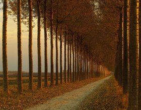 Provinz G?rz, country road with poplar trees, Friaul Julisch Venetien, Italien