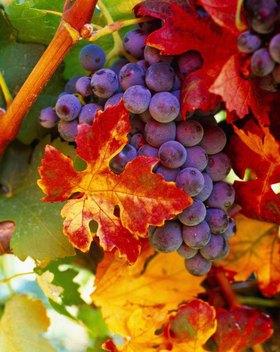Grapes, Lombardei, Italien