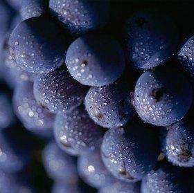 Chianti wine grapes, Chianti Region, Toskana, Italien