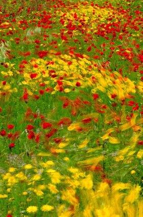 Blumen im Wind, Insel Elba,  Toskana, Italien