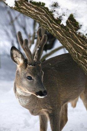Hirsch im Cuppone-Naturreservat,  Nationalpark Sila, Kalabrien, Italien
