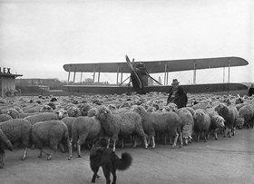 Vorsicht Flugschafe. Schafherden, die eigens zum Abweiden der Rasenflächen des Flugfeldes gebracht wurden. Photographie