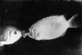 Kuss unter Wasser. Photographie um 1930.