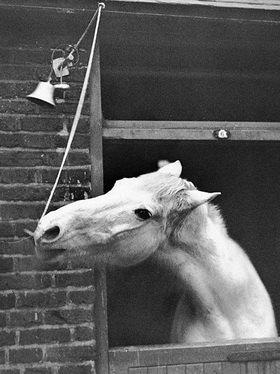 Pferd läutet Glocke. Photographie, um 1930. London