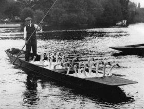 Schwäne im Ruderboot. Wegen der Henley Regatta werden die Schwäne in ein anderes Gewässer übersiedelt. England. Photographie
