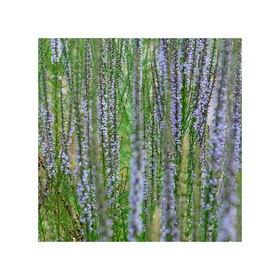 Jana Hiller: Lavendel