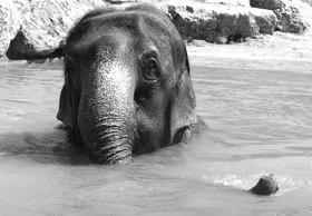 Renate Neder: Elefant beim Baden