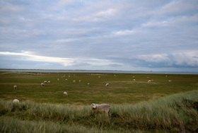 Renate Neder: Schafe an der Nordsee