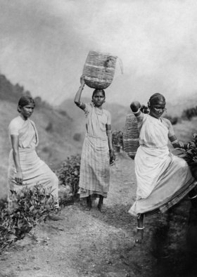 Gebrüder Haeckel: Junge Teepflückerinnen bringen die Ernte in Körben zur Fabrik