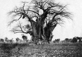 Gebrüder Haeckel: Affenbrotbaum in Ost-Afrika