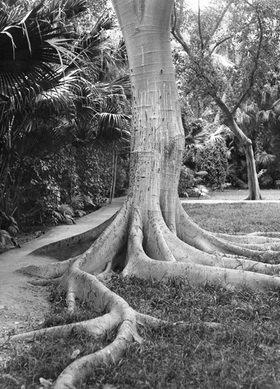 Martin Munkásci: Algerien, Wurzel eines Baumes im Garten von Allah