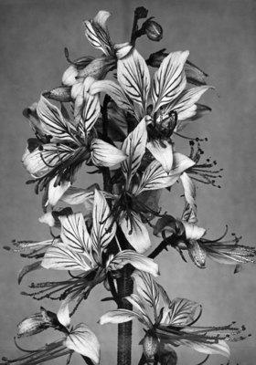 """Blüten des Diptam, im Volksmund """"Brennender Busch"""" genannt"""