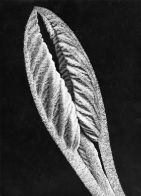 Blattknospe viburnum cantana
