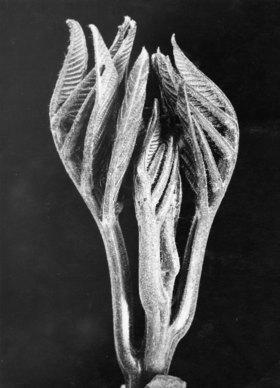Walnut leaf bud