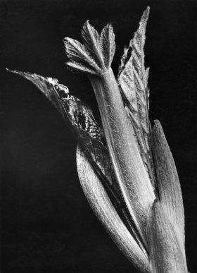 Sycamore bud leaf